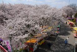 千歳桜まつり