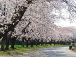 中島の桜並木