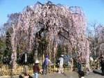 新里のお角(かく)桜とおかめ桜