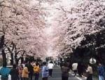 桐生市運動公園の桜並木