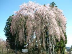 柏山のしだれ桜