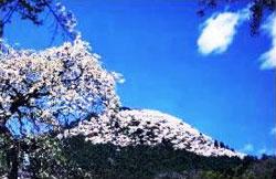 柄杓山の桜(桐生柄杓山城跡・桐生市指定史跡)