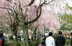 群大理工学部のしだれ桜(しだれ桜を観る会)