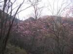 利平茶屋森林公園(ヤシオツツジ)花見ヶ原森林公園(ヤマツツジ)