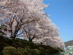 鹿の川沼の桜並木