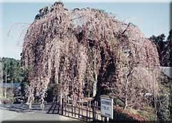 土橋のおかめザクラ