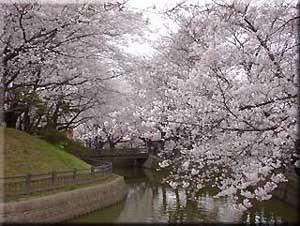 城之内公園は桜の名所となっています。
