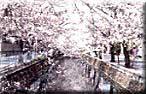 八瀬川桜まつり