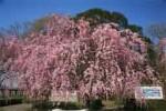 多々良沼公園の桜