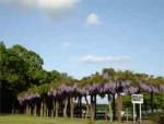 多々良沼公園の藤棚