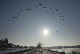 城沼の白鳥