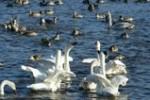 白鳥(ガバ沼)